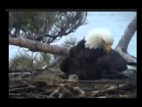 Brookfield Maine 04201654h Dad Finally Feeds the Chick