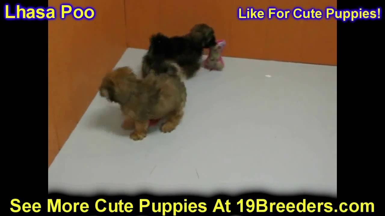 Lhasa Poo Puppies Dogs For Sale In Miami Florida Fl