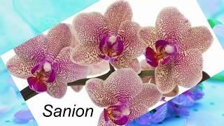 Орхидея. Каталог орхидей фаленопсис. Часть 4. Выбирайте своих красавиц!