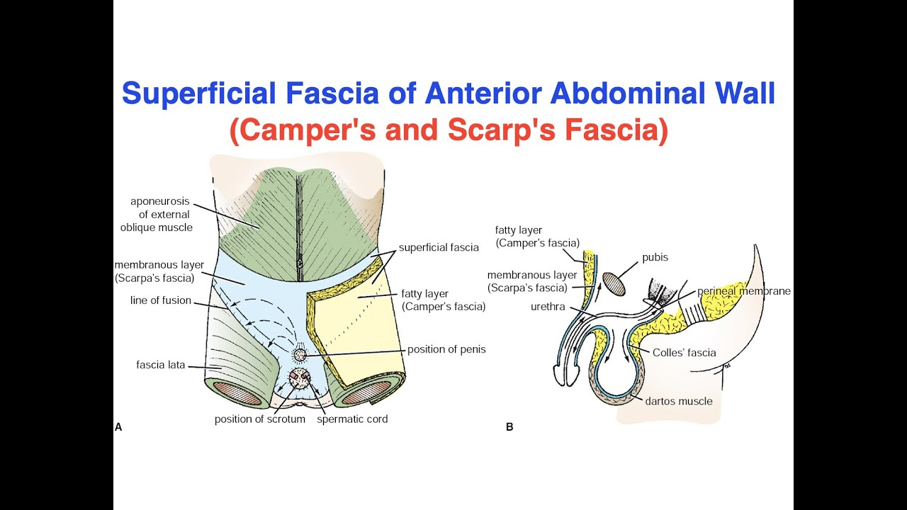 superficial fascia of anterior abdominal wall camper s and scarp s fascia youtube youtube