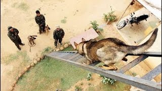 K9 Commando - Belgian Malinois - Berger Malinois - K9 Dogs - Extreme Trained & Disciplined