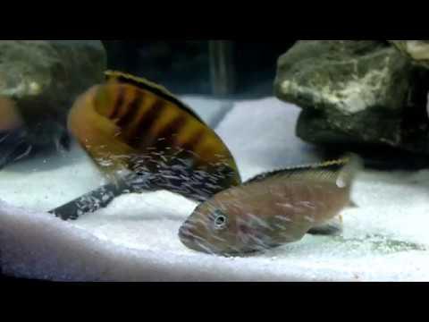 Spawning Pseudotropheus Flavus | Нерест Псевдотрофеус флавус