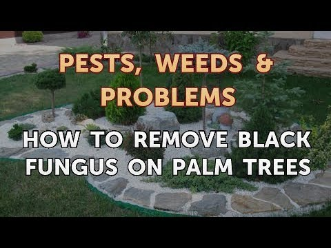 How To Remove Black Fungus On Palm Trees