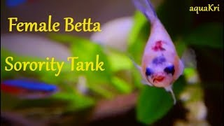 Female betta fish sorority tank and tank mates
