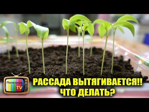 РАССАДА ВЫТЯНУЛАСЬ! ЧТО ДЕЛАТЬ? СПАСТИ ПРОЩЕ ПРОСТОГО | пикировка | помидоры | рассады | рассада | посадки | помидор | капусты | капуста | томаты | сажать