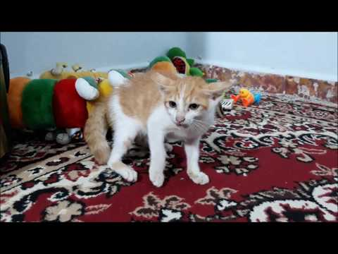 Angry kitten Hissing & Growling on another kitten and attacks dolls...