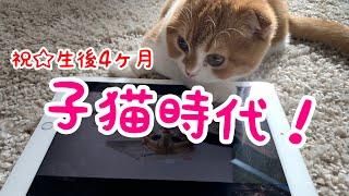 【猫の成長】生後4ヶ月の子猫が過去をふり返る【スコティッシュフォールド】