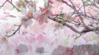 Цветущая сакура и волшебная музыка! Как в сказке!(Сакура в японской культуре является значимым символом. Изображение цветущей дикой вишни, чем собственно..., 2014-10-09T10:37:31.000Z)