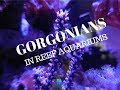 Gorgonians and Reef Aquariums (Photosynthetic Type)