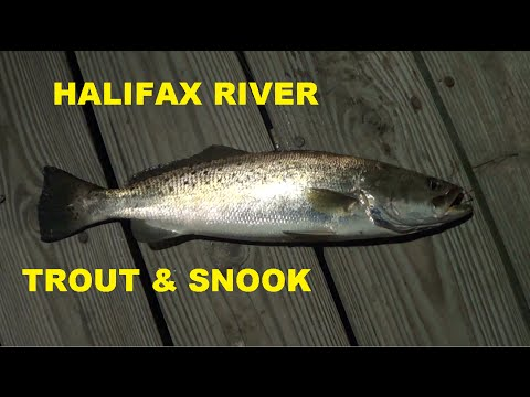 HALIFAX RIVER PIER FISHING SEA TROUT & SNOOK