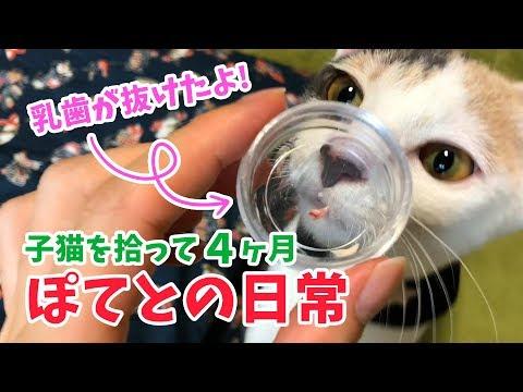 子猫を拾って4ヶ月・ぽてとの日常【歯の生えかわり時期】