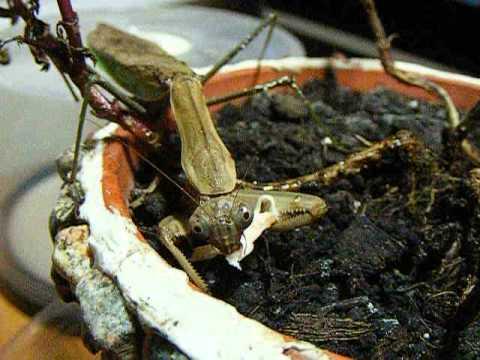 Mz. Mizzy The Mantis Scarfing Down Rotisserie Chicken!