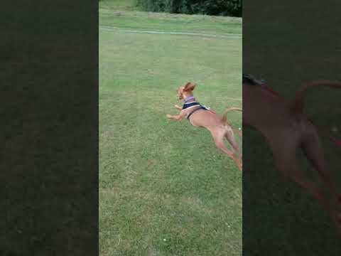 Podenco Andaluz learning recall.