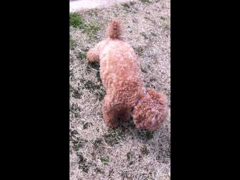 Toy poodle seizure NOT FUNNY 痙攣犬