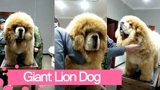 Tibetan Mastiff Gets A Quick Grooming Session
