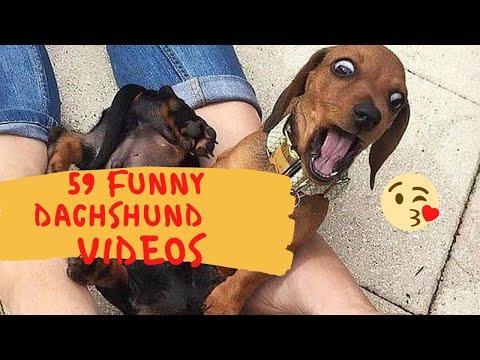 59 TOP FUNNY DOG VIDEOS INSTAGRAM | CUTEST DACHSHUND DOGS FUNNIEST VIDEOS 2020