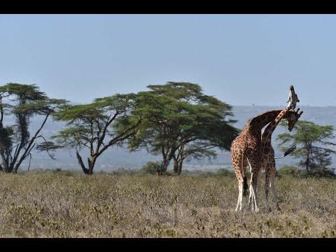 Lake Nakuru, Kenya | Giraffe Fighting, Lion Pride, Rhinos.
