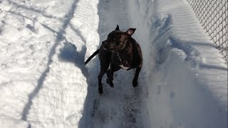 Chicago Dog Training / Hero The Pit Bull / Reversing Through The Chicago Snow Storm