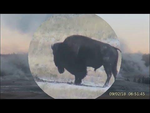 Old Faithful Geyser Steam- 1st Bison Seen@Yellowstone 9-2-2018