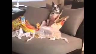 Когда ваша собака устраивает беспорядок, пока вас нет дома    Curtis Lepore Vine 240p(, 2015-07-30T10:17:34.000Z)