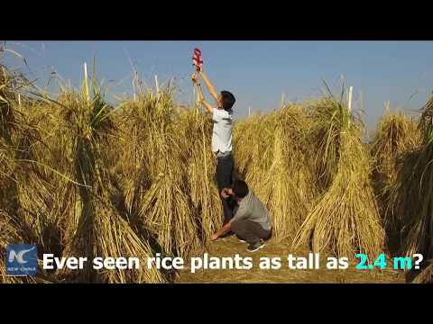High time for picking 2.4-m-tall rice in SW China