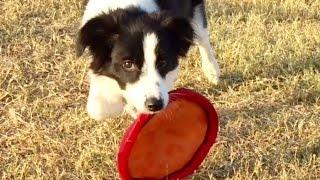 凄い四ヶ月の子犬 ディスクに反応 7ヶ月過ぎてジャンプキャッチの練習始...