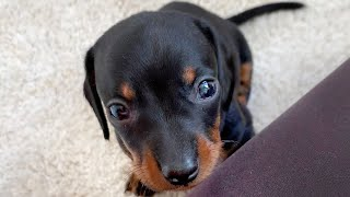 dachshund-puppies-playing-in-the-living-room