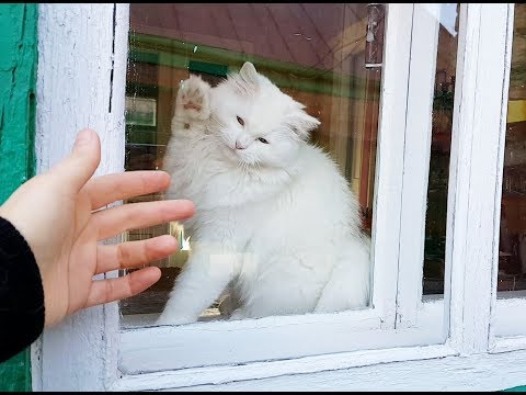 Turkish Angora cat - you can' t resist her cuteness