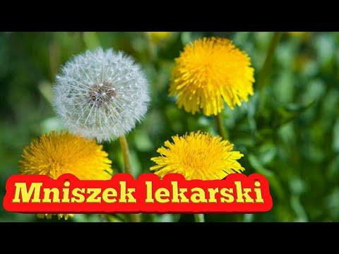 94 Mniszek Lekarski Kwiat Lisc Wlasciwosci Youtube