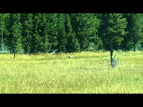 Coyote playing /hunting in Yellowstone.