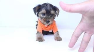 Cute Teacup Male Yorkie Puppy By Puppyheaven.com