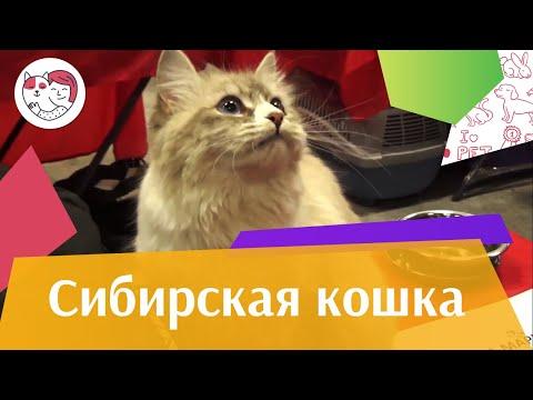 Вопрос: Почему кошка показывает свой характер нагадив?