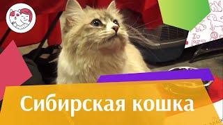 Сибирская кошка. О породе, характер, уход.