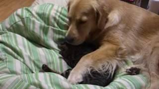 ゴールデンレトリバーと猫 クッションの上で一緒に寝ようとしてます。 golden retriever and cat. I sleep on a cushion together.