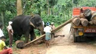 Elephant lifting log