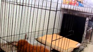 Amber Toy Poodle - First Day Crate Introduction