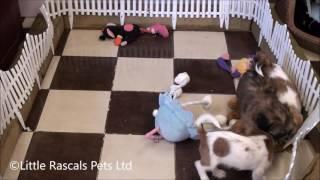 Little Rascals Uk Breeders New Litter Of Shih Tzu Cross Puppies