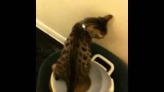 Java (Bengal Kitten) Using Potty