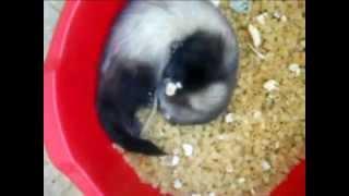 Кормление хорька живым кормом (ferrets playing)