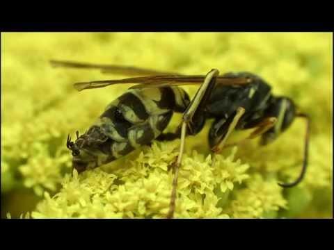 恐怖! スズメバチに寄生する\u201cネジレバネ\u201d  Dangerous Insects