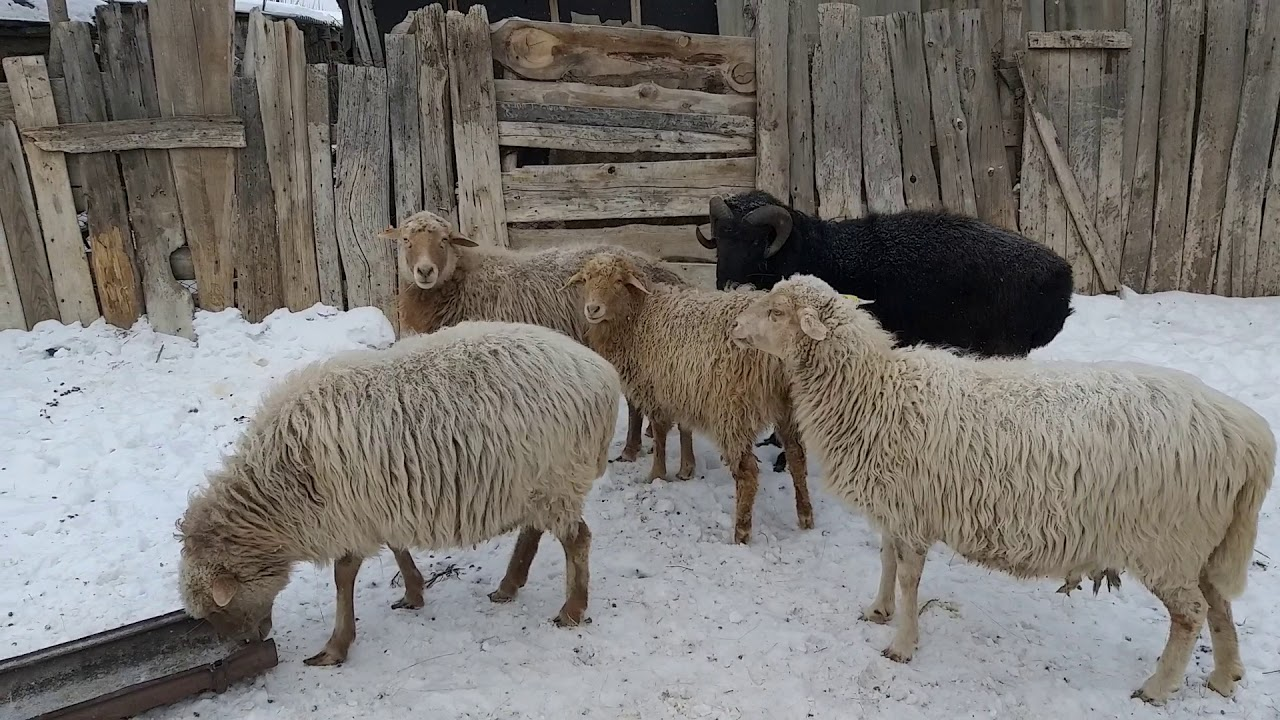 Блог №4 Содержание овец в посёлке городского типа. Канал
