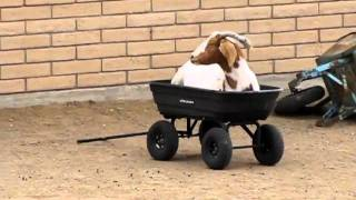 Nannie Utube - Willie Goat Pushing His Mother In A Wagon