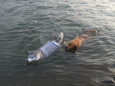 Swimming Day  Siberian Husky Hana is swimming dog,  Jun  24th 2014