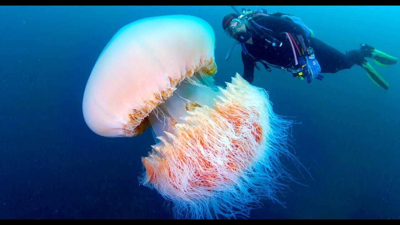 Nomura jellyfish wallpaper