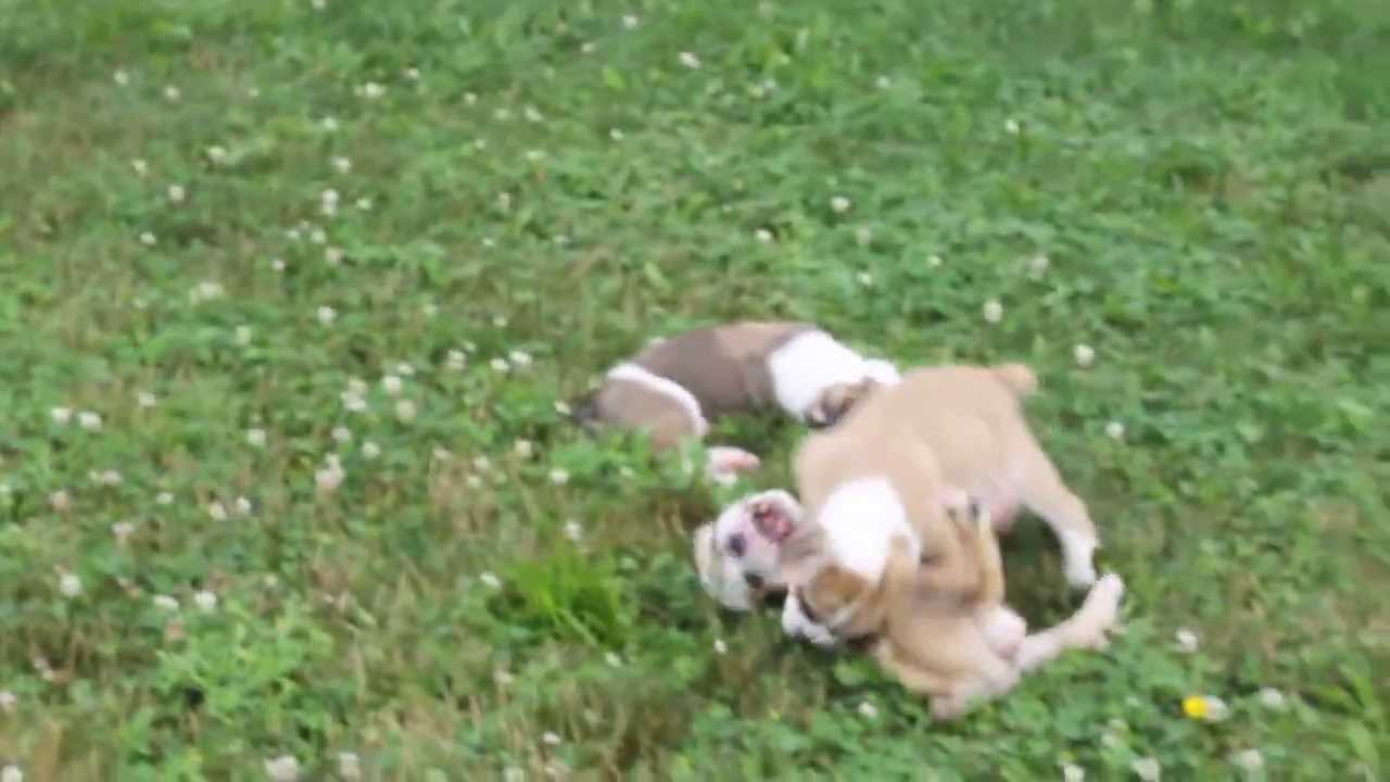Beabull puppies for sale in ohio youtube for Dog kennels for sale in ohio