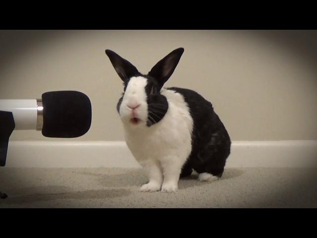Rabbit singing Unforgettable