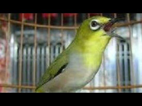 Suara Kicau Burung Pleci Gacor (Pleci Jawara)