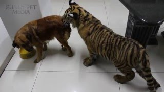 FUNNY TIGER CUBS 🐯 Tiger Cubs PLAYING (HD) [Funny Pets]