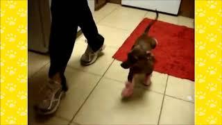 FUNNIEST DACHSHUND VIDEOS | Funny Animals