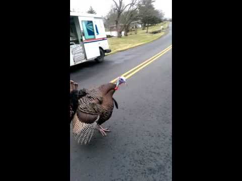 Mailman chased by a turkey!